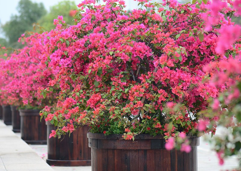 Best Potted Plants Deck Patio Bougainvillea